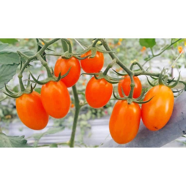美濃特甜橙蜜番茄(5斤裝)